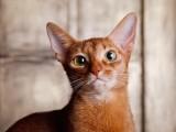 абиссинская кошка окрас соррель