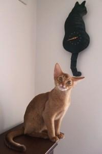 Абиссинский котенок окраса соррель