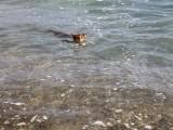 абиссинский кот дикий окрас плавает