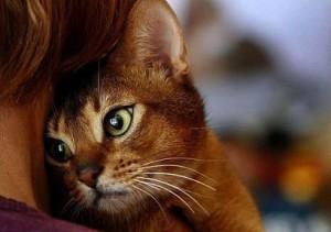 Абиссинский кот дикого окраса
