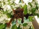 абиссинский кот дикий окрас прогулка