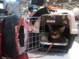 абиссинская кошка дикий окрас поездка