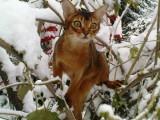 абиссинская кошка дикий окрас прогулка зимой