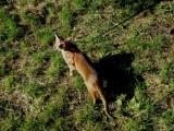 абиссинская кошка дикий окрас прогулка