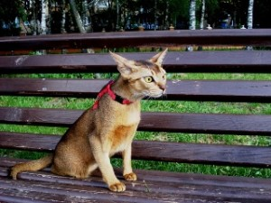 Абиссинская кошка на прогулке