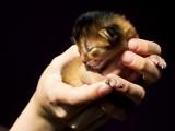 абиссинский котенок дикий окрас