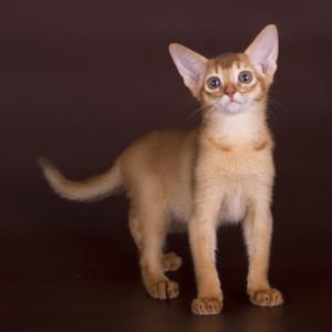 Абиссинский котенок окраса соррель с остаточным маркингом