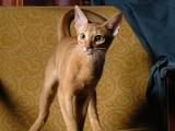 абиссинская кошка окраса соррель