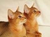 абиссинские котята дикий окрас