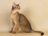 абиссинская кошка дикий окрас