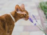 абиссинский кот окраса соррель прогулка