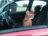 абиссинский кот дикий окрас поездка в авто