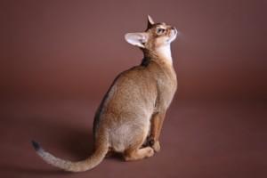 Абиссинский котенок дикого окраса