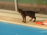 абиссинский кот дикий окрас