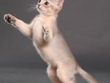 абиссинский котенок голубой окрас