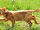 абиссинский котенок окрас соррель прогулка