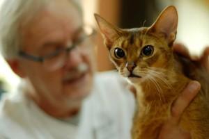Абиссинская кошка шоу-класса на выставке