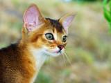 абиссинский котенок дикий окрас прогулка