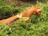 абиссинская кошка окраса соррель прогулка