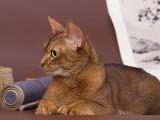 абиссинский кот дикий окрас вязка