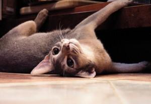 Абиссинская кошка голубого окраса