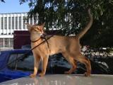 абиссинская кошка дикий окрас поездка на авто
