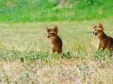 абиссинские котята прогулка