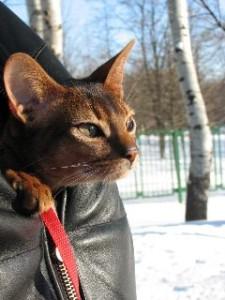 Абиссинский кот на прогулке