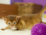 абиссинский котенок окрас соррель