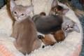 Котята C из питомника RANDEVU