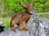 Ора, абиссинская кошка дикого окраса